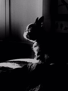 Looking a little bit Majestic, French Bulldog