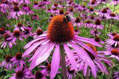 Full Sun Flowers, Amazing Flowers, Purple Flowers, Wild Flowers, Best Perennials, Hardy Perennials, Flowers Perennials, Growing Flowers, Planting Flowers