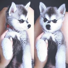 a baby wolf<3<3<3