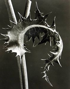 I was trying to remember this photographer after I took some shots of thistle that reminded me of his stuff. An oldie but goodie, karl blossfeldt