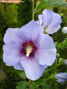 Rose of Sharon 'Marina' Hibiscus syriacus