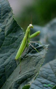 """I told my son-in-law """"I really wish I could take a photo of a Praying Mantis"""" so he found one for me and put it in my garden!"""