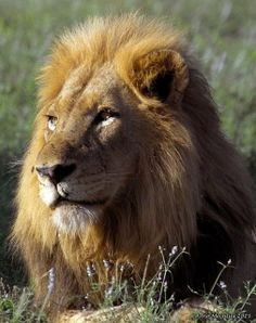 Beautiful Lion - hey thats why I am..in at least zodiac interpretation lol but i always feel like it.  What a beautiful animal