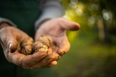 Closeup of hands holding freshly collected walnuts Harvest Time, Fall Harvest, Autumn, Close Up Photography, Hands, Autumn Harvest, Fall Season, Fall
