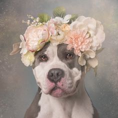 Sophie Gamand Photography.  Softening the image of pit bulls in an effort to help the plight of this beautiful, misunderstood, mistreated breed.  Click through to buy her images/calendar/tote/and support the cause.