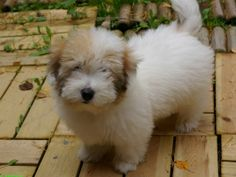 The Coton originated in the idyllic island of Madagascar off the southeast coast of Africa where the temperature never drops below 68 degrees F., a pleasantly warm climate. Cotons had been initially located in the port of Tulear, therefore the name Coton de Tulear.