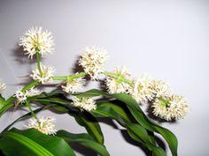 Palo de Agua: una planta de floración escasa