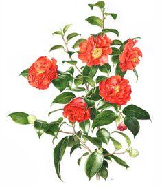 Roger Reynolds – The Society of Botanical Artists