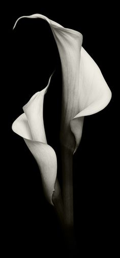 F rsorgliche Callas Helldunkel Fotografie Hell Calla Lily Flowers, Calla Lillies, Flowers Nature, Black And White Flowers, Black White Photos, Black And White Photography, Silouette Photography, Fine Art Photography, Flower Images