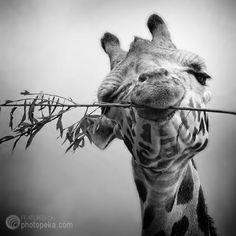 giraffe black and white photo