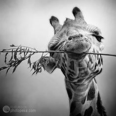 giraffe black and white photo