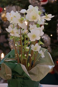 Christmas rose  (Helleborus)   | Photo credit: Kristiinah - Merkintöjä Melukylästä |