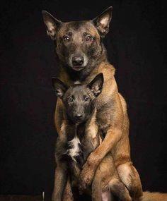 Berger Malinois, Belgian Malinois Puppies, Belgian Shepherd, German Shepherd Dogs, Cute Dogs And Puppies, I Love Dogs, Gaurd Dogs, Pastor Belga Malinois, Belgium Malinois