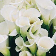 My Favourite, White Calla Lilies