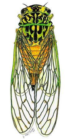Cicada drawing.