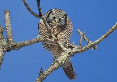 Northern hawk-owl in Waterbury Center. (Photo: Jared Katz )