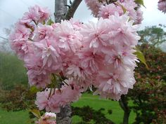 Double Weeping Cherry Tree | ... view full-size photo of Weeping Extraordinaire Weeping Cherry (Prunus