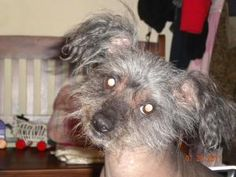 Hi, I am Chico, a Hairless Chinese Crested. I am being fostered in Pa. I am a very shy little guy, but once I warm up to you, you have a friend for life. All I ask is that you have a little patience with me and allow me to warm up to you as I don't like to be hovered over. I am a very healthy 16 pounds and my best guess birthday is August 18, 2007.