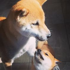 "My Shiba and Her Pup Just Had a ""Moment"" http://ift.tt/1TWzfWb"