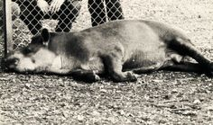 *A very relaxed Hybrid Tapir from the San Francisco Zoo late 1960's. He was enjoying getting his back scratched. :-)