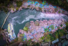 Fotoserie: wanneer de kersenbloesem uit de bomen waait - Roomed