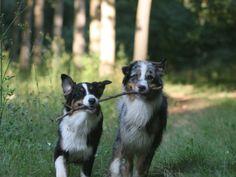 Superbe chien dont le pelage peut arborer une multitude de couleurs, le Berger Australien est un merveilleux compagnon, sportif et travailleur qui sait parfaitement s'adapter à la vie de famille. Très attaché à ses maîtres, voire un peu pot de ...