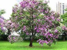 Bauhinia variegata - Pata-de-vaca - porte médio, 6 a 12m, é uma árvore semidecídua e muito florífera. O tronco tem cerca de 30 a 40 cm de diâmetro, é tortuoso e ramifica com pouca altura ou mesmo desde à base. Ideal para calçadas, canteiros centrais e quintais pequenos
