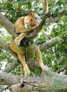 A lion...but up a tree? Very proactive.
