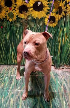 """ROCKY """"16-411"""" - URGENT - TOWN OF BABYLON ANIMAL SHELTER in West Babylon, NY - ADOPT OR FOSTER - Adult Male Pit Bull Terrier"""