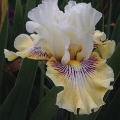 This Iris is called Fancy a Flutter. The dark purples lines in the pedal are what is called veining. #Iris  #flower  #irisfarm  #Love