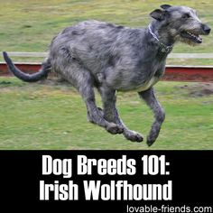 Please Share This Page: Dog Breeds 101: Irish Wolfhound – Image To Repin / SharePhoto – Wikipedia – lic. under CC 3.0 The Irish Wolfhound is the gentle giant of the canine world. Nearly 7 feet tall when it stands up on its hind legs, the full-grown Irish Wolfhound is, in fact, the tallest dog …