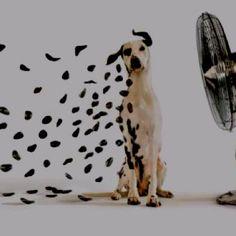 dalmatian blown away