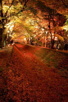 Maple tunnel - Lake Kawaguchi, Japan