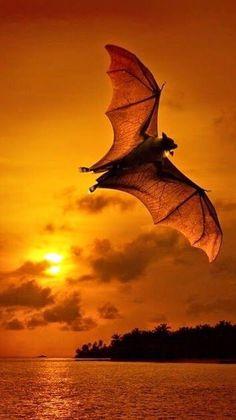 gorgeous flying fox! ✿⊱╮