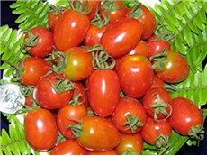 TOMATO BETALUX VERY EARLY DELICIOUS OVAL SMALL RED FRUITS FERTILE