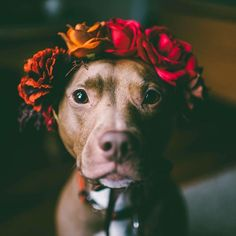 This pitbull photo is stunning.   www.bullymake.com
