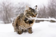 https://flic.kr/p/HivpDY   Cat in the snow   Photo white cat in a snow bank, which is all in the snow