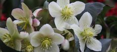 Helleborus niger, also known as the Christmas rose, pictured in flower in January.