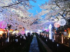 Jinhae Cherry Blossom Festival is Korea's largest cherry blossom festival! Over 2 million tourists come from all over the world to walk along the tree-lined streets and picturesque mountain paths. There are so many cherry blossom trees in Jinhae that when the wind blows it seems as if it is raining cherry blossom petals.