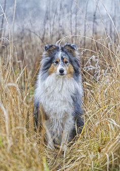 "Blue merle Shetland Sheepdog girl in ""blue merle environment"". Dogs And Puppies, Doggies, Sheep Dogs, Dog Day Afternoon, Shetland Sheepdog, Sheltie, Beautiful Dogs, Dog Life, Dog Pictures"