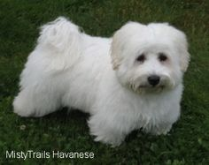 havanese haircuts pictures | Havanese Pictures and Photos, 14
