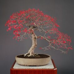Momiji (Seigen species of Japanese maple) in an oval ''shiro kochi'' white Cochin vessel. Age: about 100 years, Height: 74 cm.