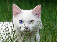 Ahhh this looks so much like our kitty two colored eyes too!