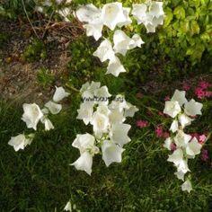 CAMPANULA lact. Alba / CAMPANULE blanche