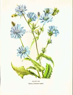 Blue Chicory Flower 1950s Vintage Botanical by SurrenderDorothy, $10.89