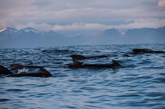 Whales at Andenes