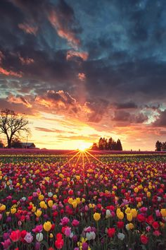Sun Setting over fields of tulips.