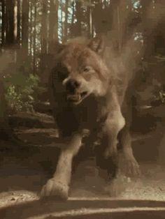 wolves from twighlight saga | Twilight Saga: New Moon - Jacob as wolf