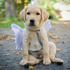 Fairy puppy #LabradorCute