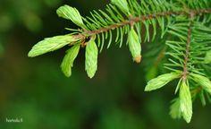 Kuusenkerkistä apua hengitystieongelmiin ja yskään | Hortoilu.fi Herbalism, Plant Leaves, Healthy, Plants, Beautiful, Herbal Medicine, Plant, Health, Planets